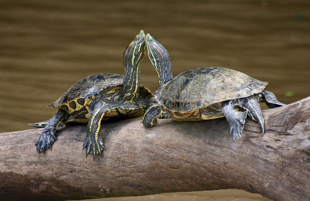 animales-endemicos-yucatan-la-tortuga-jicotea